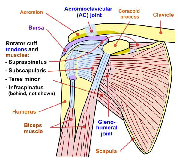 Shoulder_joint-physio